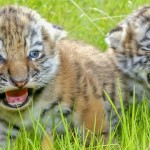Today (29th July) is the International Tiger Day Let us preserve these endangered species.