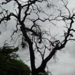 See the changes taking place in trees: കാലാവസ്ഥയിൽ വരുന്ന വ്യതിയാനങ്ങൾ ഇതാ മരങ്ങളിലും
